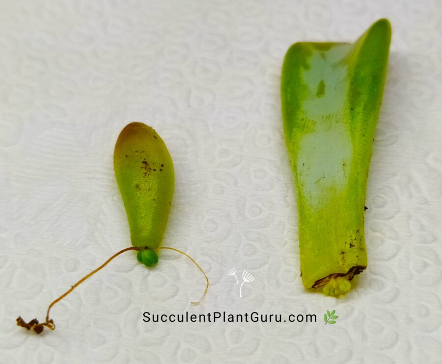 Succulent leaves sprout in propagation